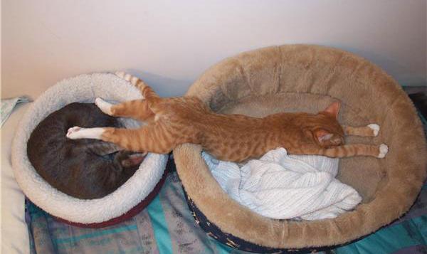 Fotografije malih i velikih mačaka - Page 3 C_streck